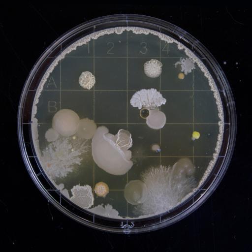 细菌 显微镜 观察 放大