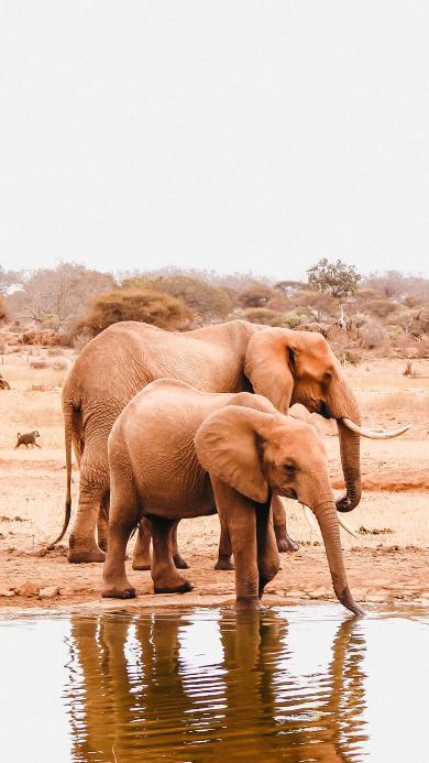 大象 野外 河岸 饮水