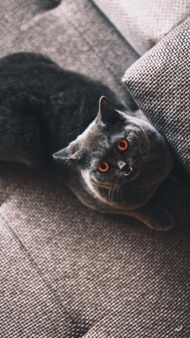 猫咪 宠物 沙发  仰头