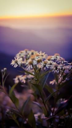 鲜花 雏菊 花簇 白色