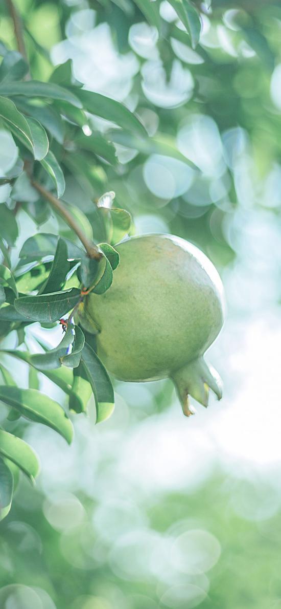 水果 石榴 青皮 枝叶 果树
