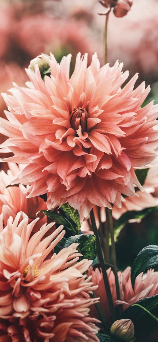 鲜花 大丽菊 盛开 花瓣