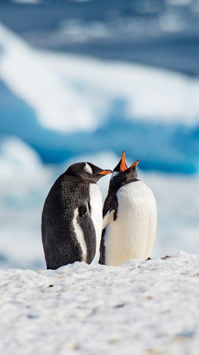 企鹅 南极 可爱 萌 冰