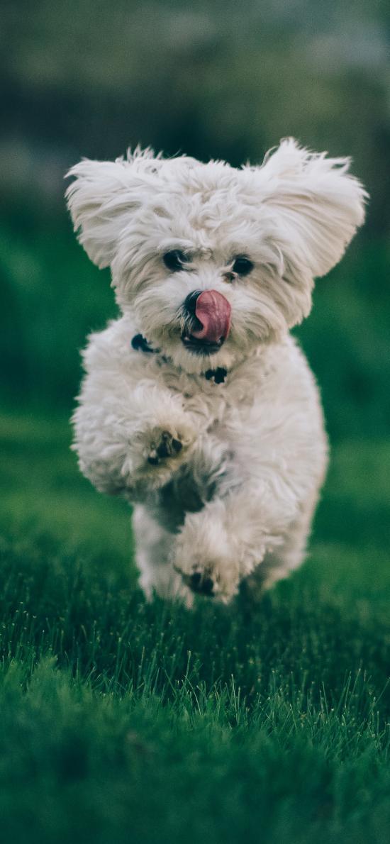 宠物狗 草地 奔跑 可爱