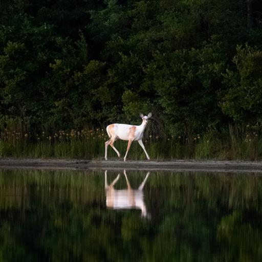 郊外 湖泊 小鹿 倒影