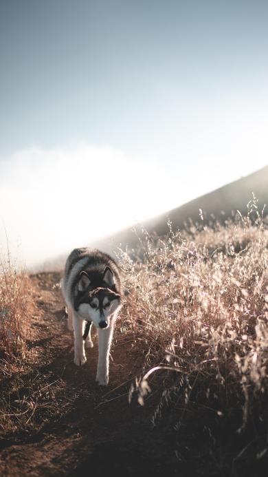 哈士奇 宠物 遛狗 田野