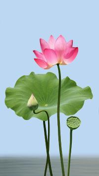 荷花 荷叶 莲蓬 鲜花 盛开