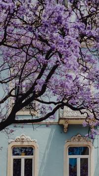 树木 紫色 枝干 建筑 窗户