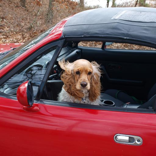 狗 犬 汪星人 可爱 宠物 车子