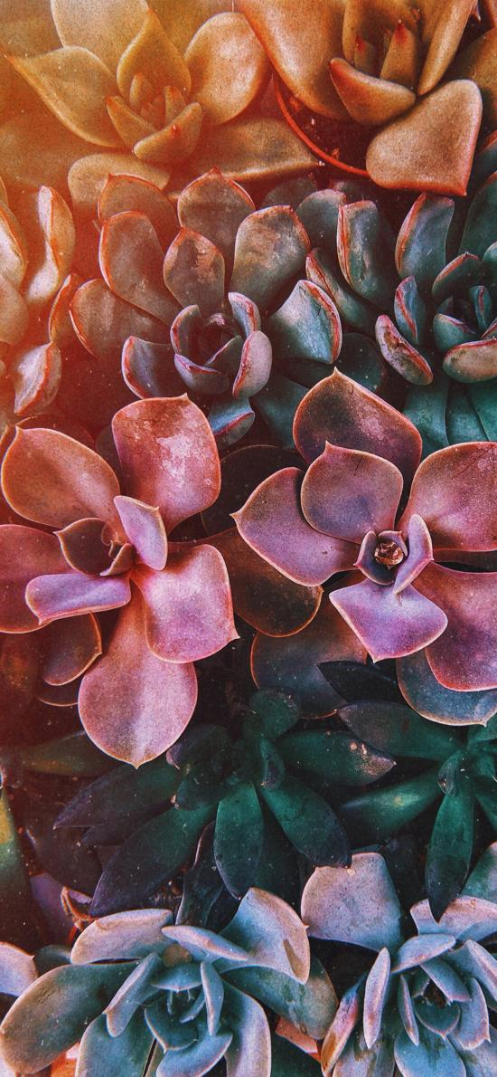 多肉 密集 绿植 彩虹 莲花状