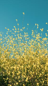 小黄花 鲜花 蓝天
