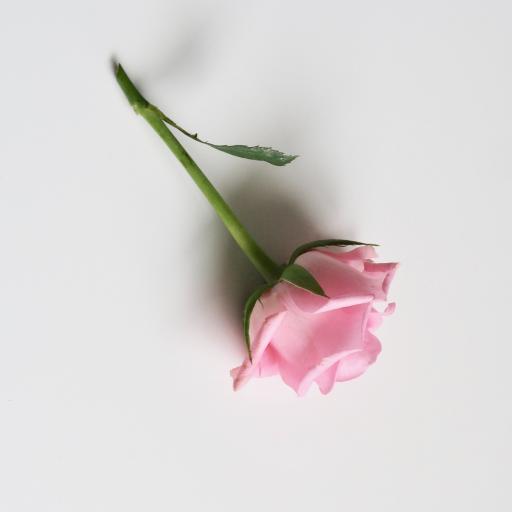 玫瑰 花苞 鲜花 花朵