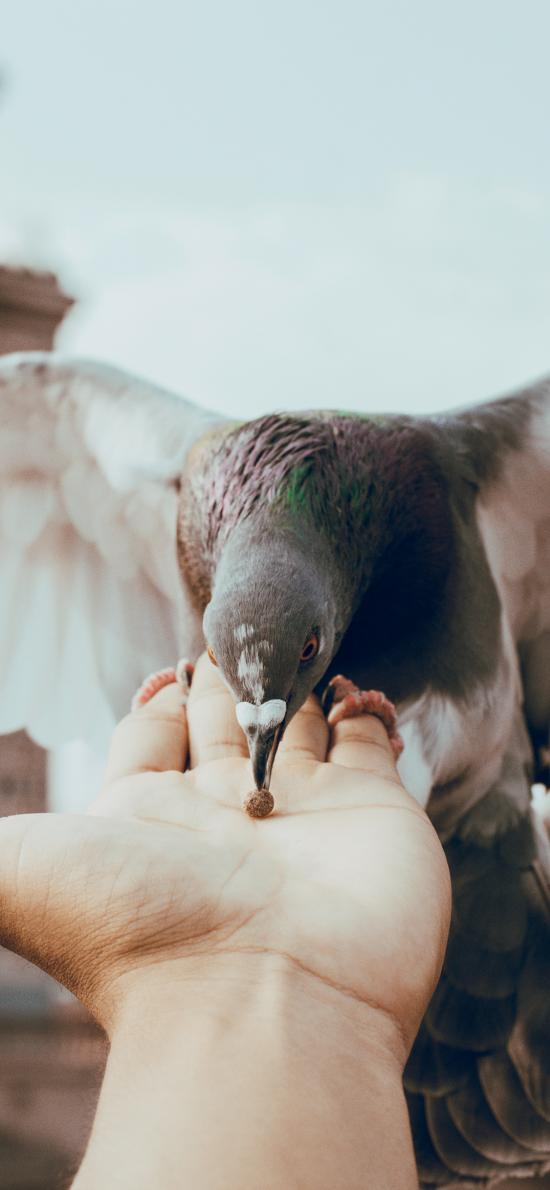 飞鸟 鸽子 灰色 喂食