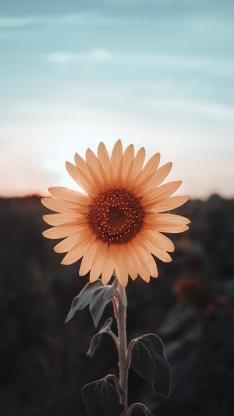 向日葵 花盘 花瓣 盛开
