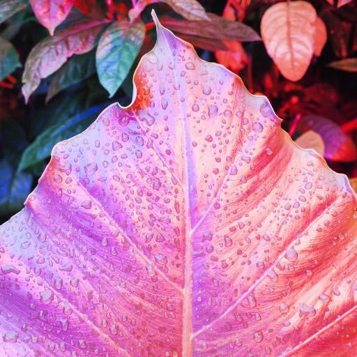 葉子 水滴 水珠 粉色 枝葉 葉脈