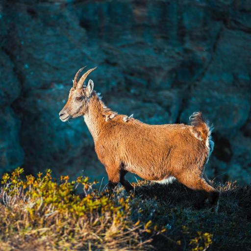 保护动物 羚羊 黄色 跳跃