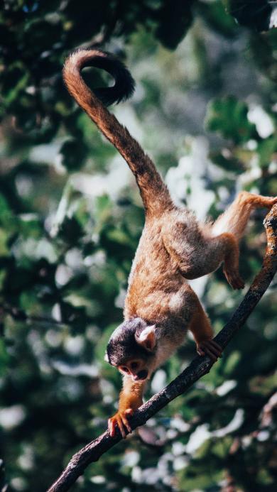 猴子 树枝 爬行 灵敏 尾巴