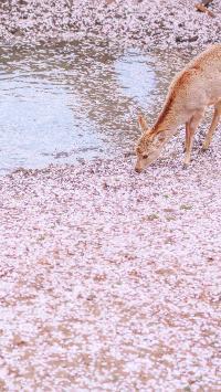 鹿 樱花 唯美 粉色 落花 水