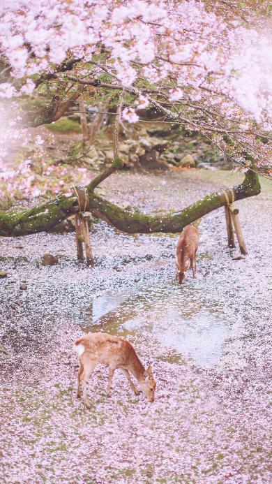 鹿 樱花 唯美 粉色 落花