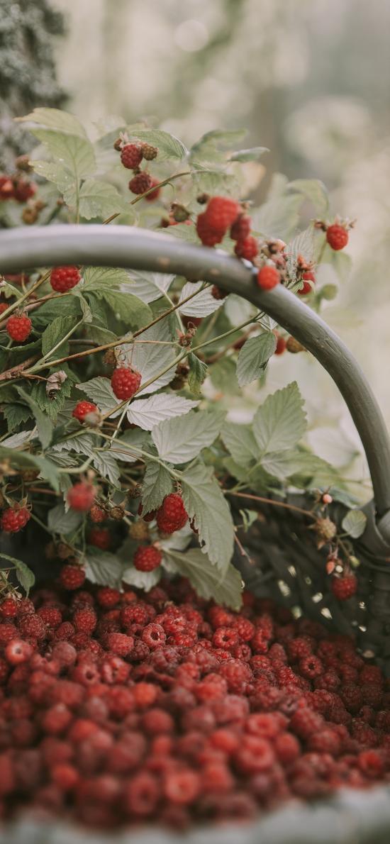 树莓 覆盆子 水果 新鲜 采摘