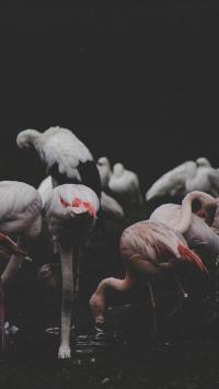 火烈鸟 群居 觅食 鸟类