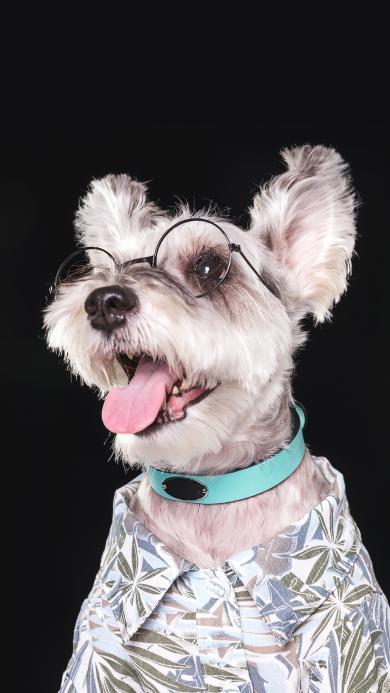 雪纳瑞 宠物 眼镜 衣服 精致