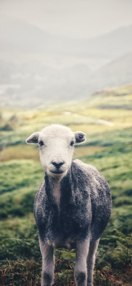 羊 草原  羔羊 放牧