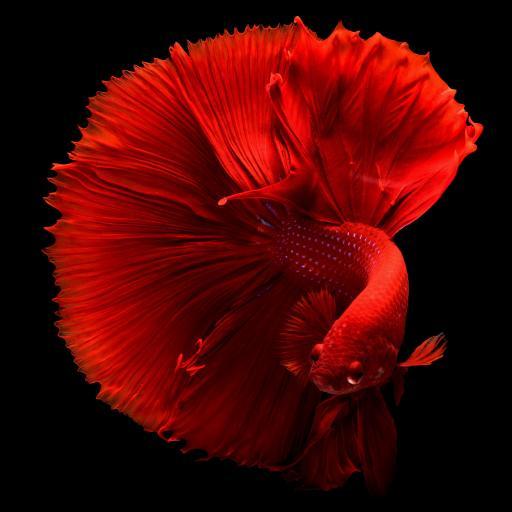 斗鱼 观赏性 热带鱼 鲜艳