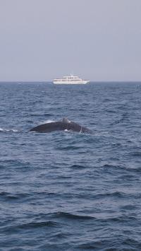 鲸 大海 游轮 海洋生物 海面