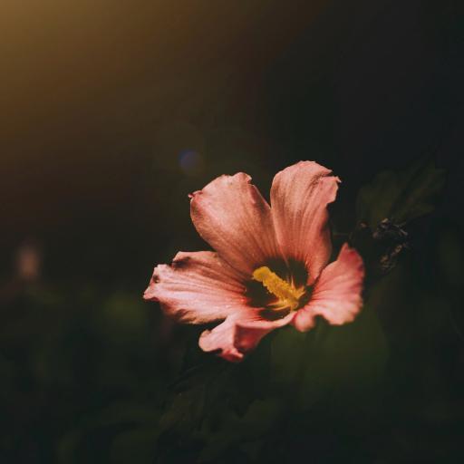 鲜花 花朵 盛开 粉