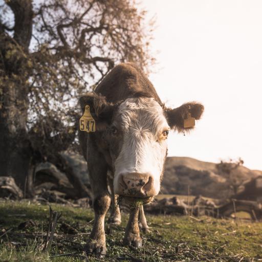 郊外 草地 牛 呆萌