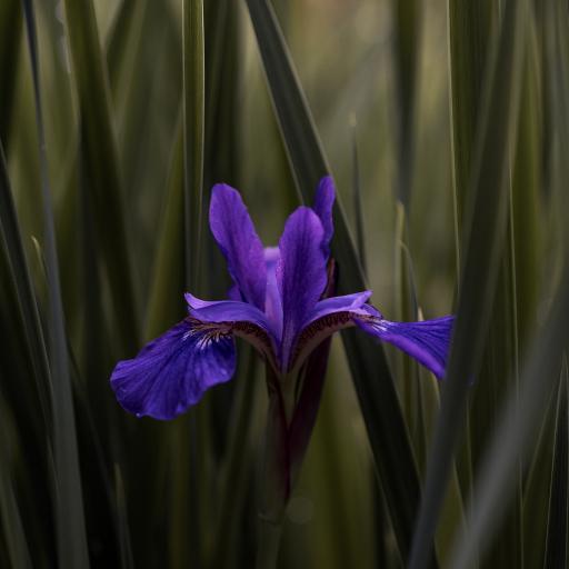 鲜花 天山鸢尾 紫色 绽放