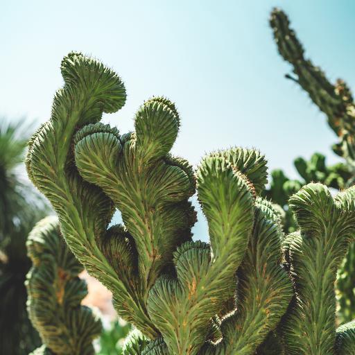 绿植 仙人掌科 厚叶片