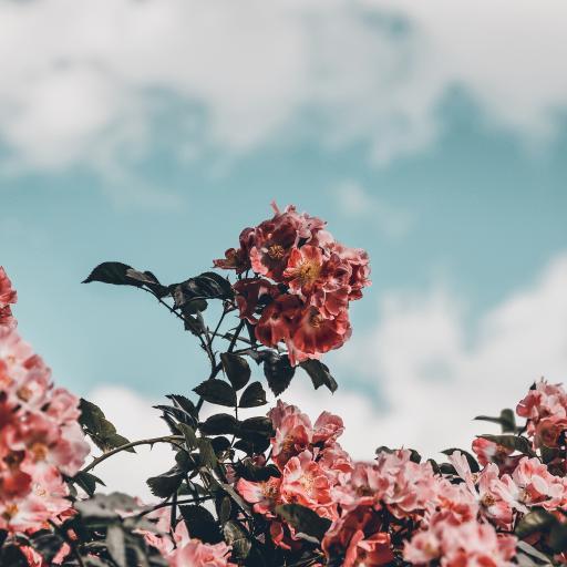 天空 鲜花 红色 绽放
