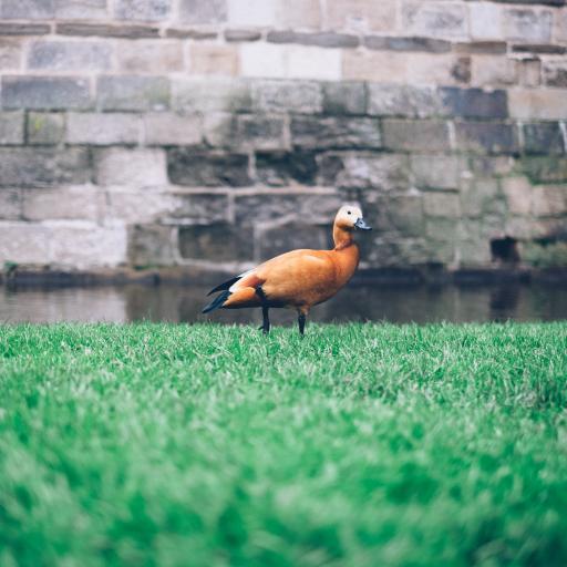 鸭子 草坪 家禽 户外