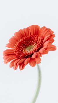 鲜花 非洲菊 花朵 花瓣
