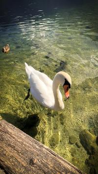 天鹅 湖水 清澈 禽类