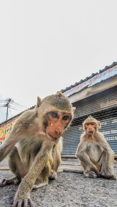 街道 猴子 聪明 好动