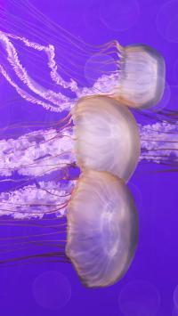 水母 海洋生物 紫色 透明 游动