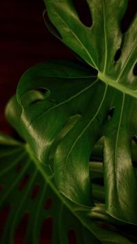 龟背竹 绿色 叶子 植被
