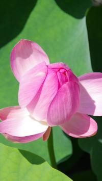 荷花 鲜花 含苞待放 荷叶 荷塘 莲