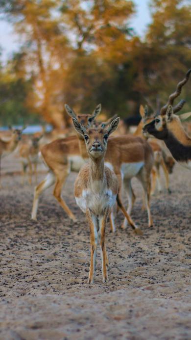 鹿 野生 种群 户外