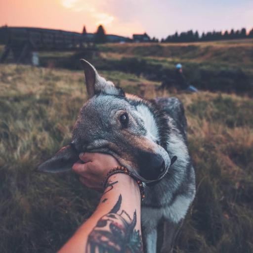 狼狗  温顺 草原 手部 纹身 个性