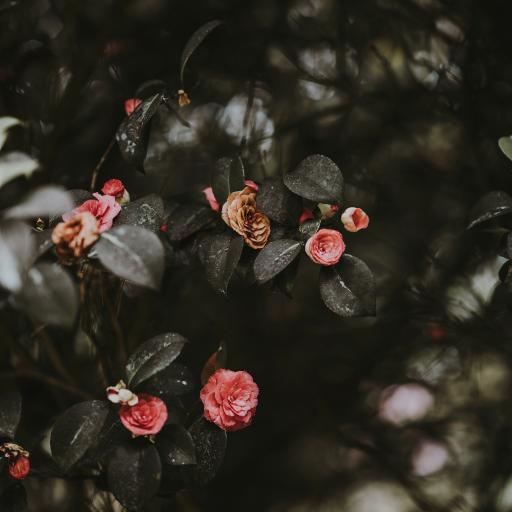 植株 鮮花 粉色 綻放