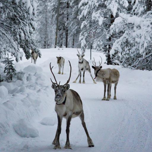 冬季 针叶林 雪地 驯鹿