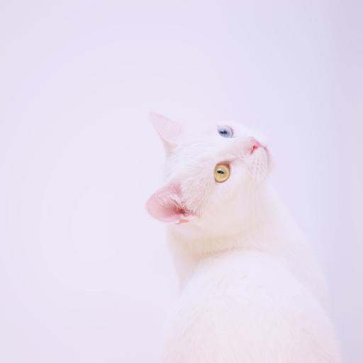 异瞳 猫咪 白猫 宠物 喵星人
