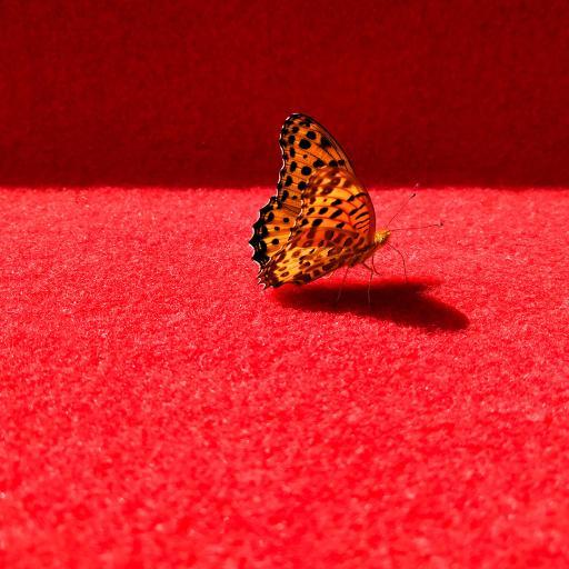 蝴蝶 翅膀 红色 昆虫