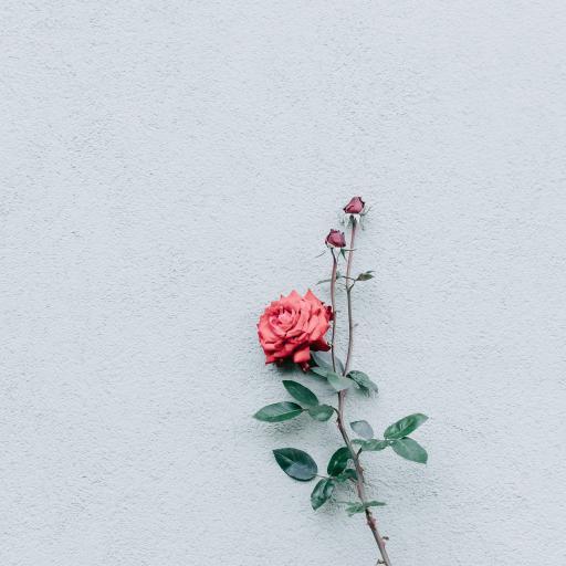 玫瑰 月季 鲜花 枝叶 墙壁