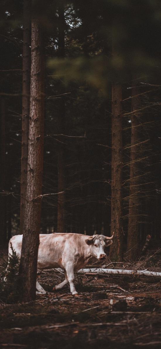 牛 牲畜 树林 放养