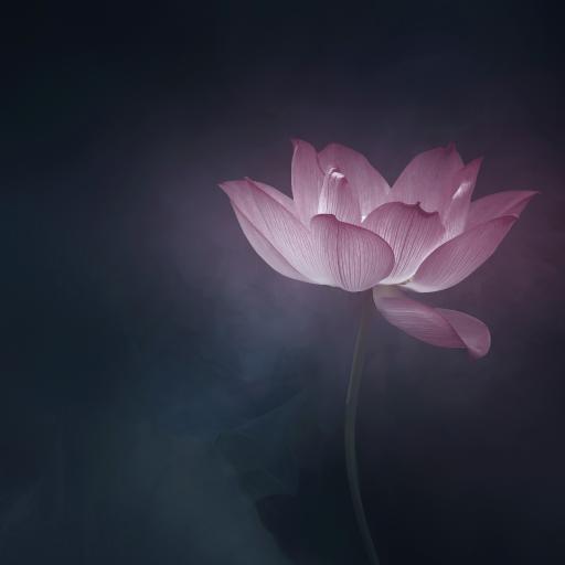 荷花 花卉 滤镜 盛开